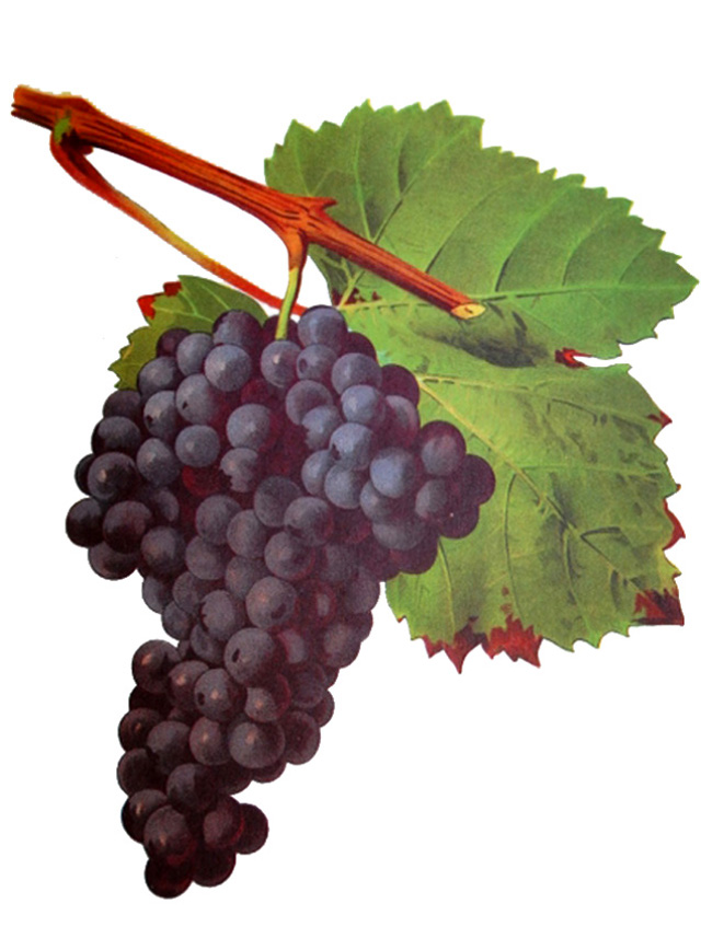 The Great Grapes Wine Food Festival