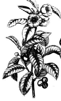 Archivo:Tea plant drawing.png