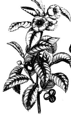 نبات الشاى Tea_plant_drawing