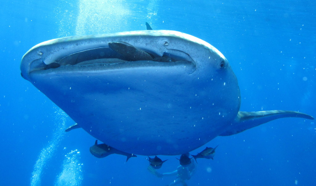 Whale Shark Mouth Size