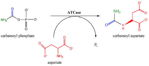 Reaction of aspartate transcarbamylase.
