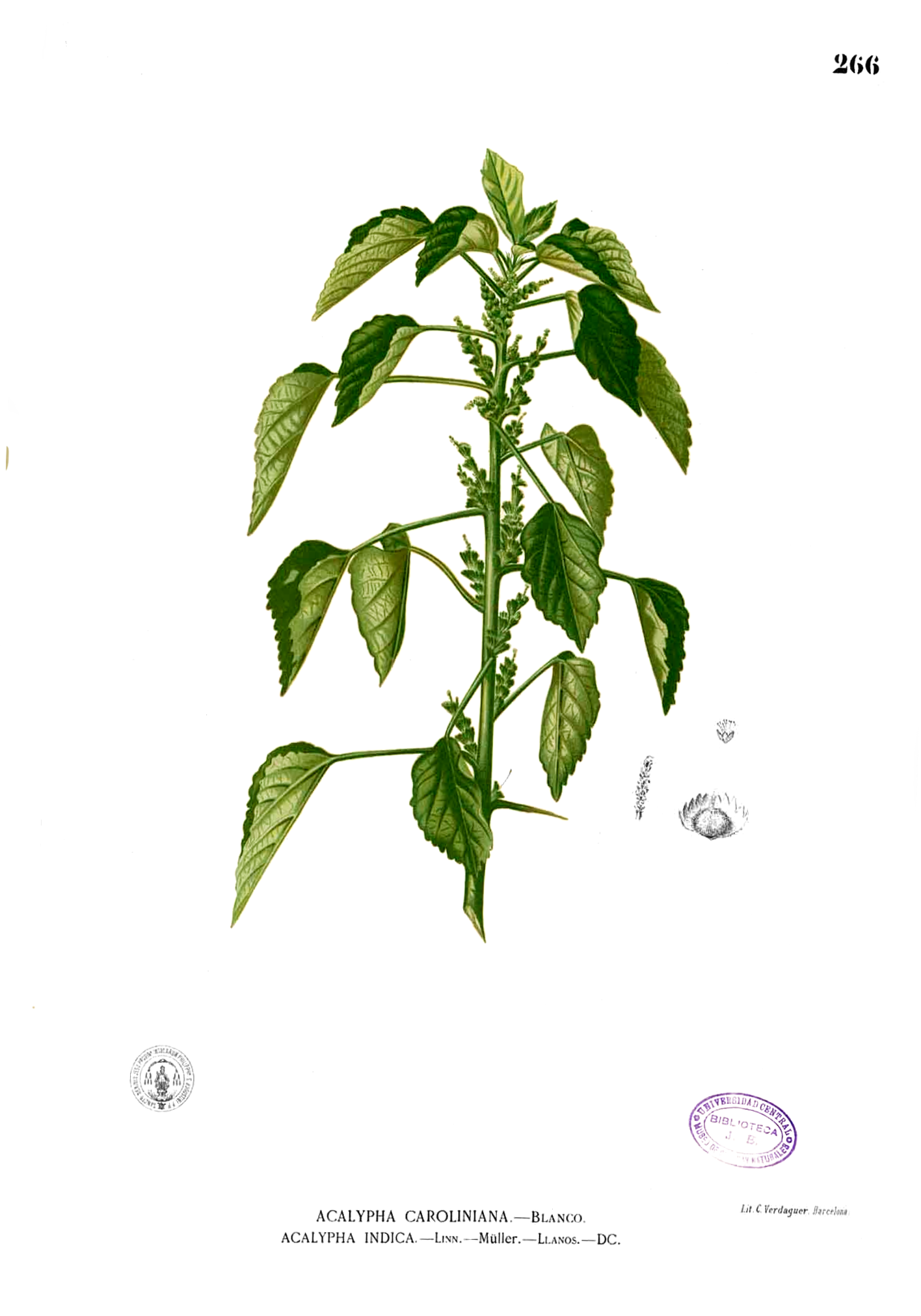 Acalypha Indica L
