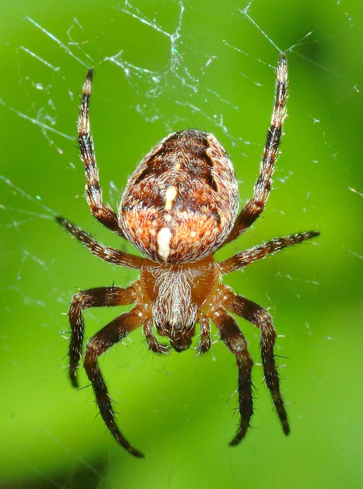 European Garden Spider Wiktionary