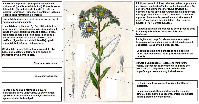 Fiore Giallo 6 Petali.File Aster Amellus Sturm Desc Jpg Wikimedia Commons