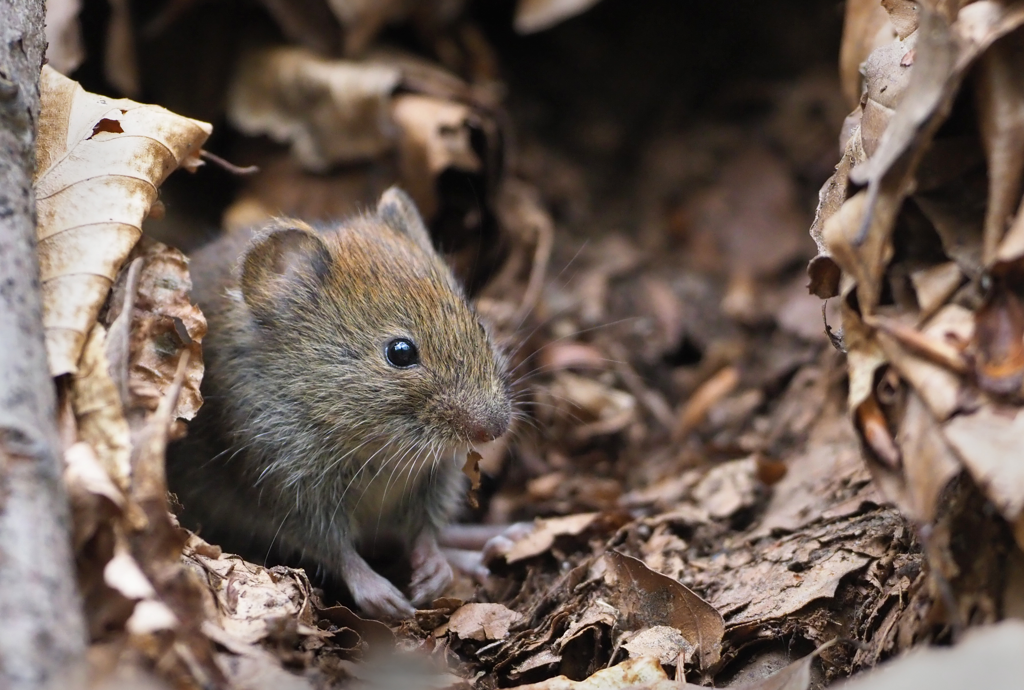 Image result for bank vole