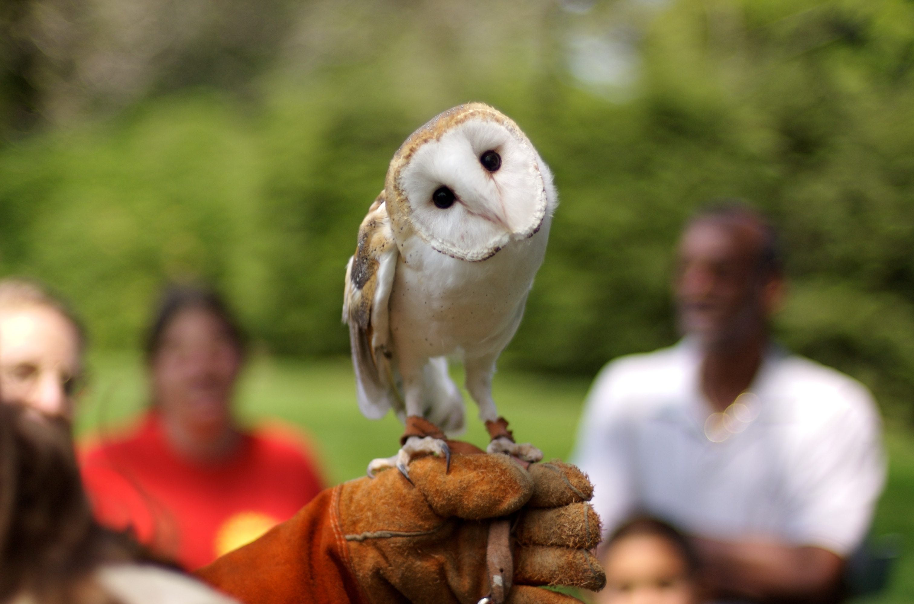 By Jeff Kubina (originally posted to Flickr as Barn Owl) [CC-BY-SA-2.0 (http://creativecommons.org/licenses/by-sa/2.0)], via Wikimedia Commons