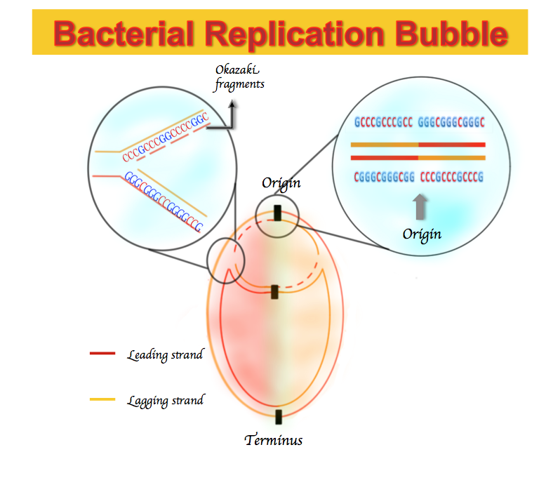 Filebidirectional dna replication in bacteriag wikimedia commons filebidirectional dna replication in bacteriag ccuart Choice Image