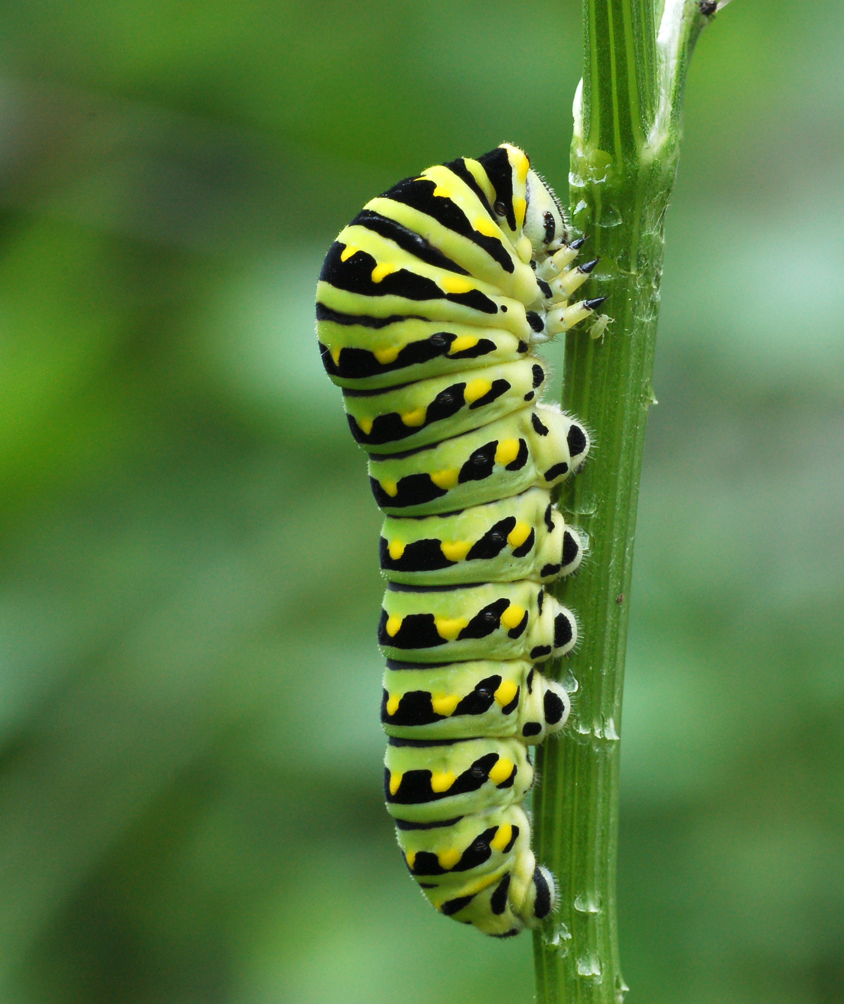 How to Use Fennel (or Dill) to Keep Caterpillars Off Your ... Black Swallowtail Caterpillar