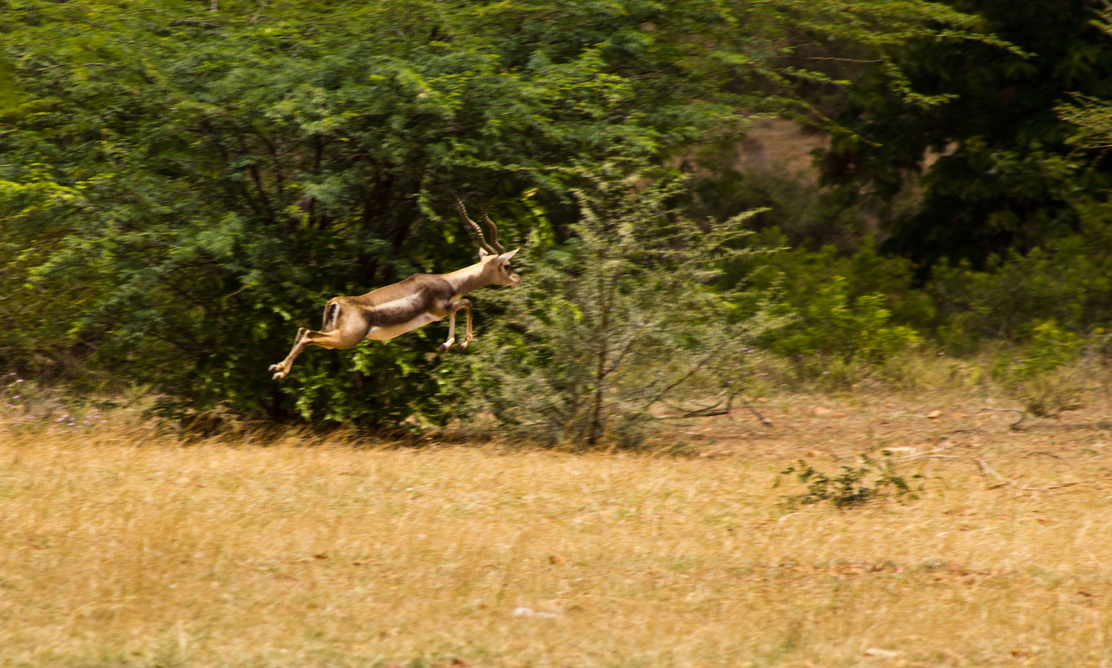 https://upload.wikimedia.org/wikipedia/commons/f/f1/Blackbuck_at_Jayamangala_Reserver.jpg