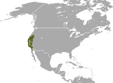 English: Broad-footed Mole (Scapanus latimanus...