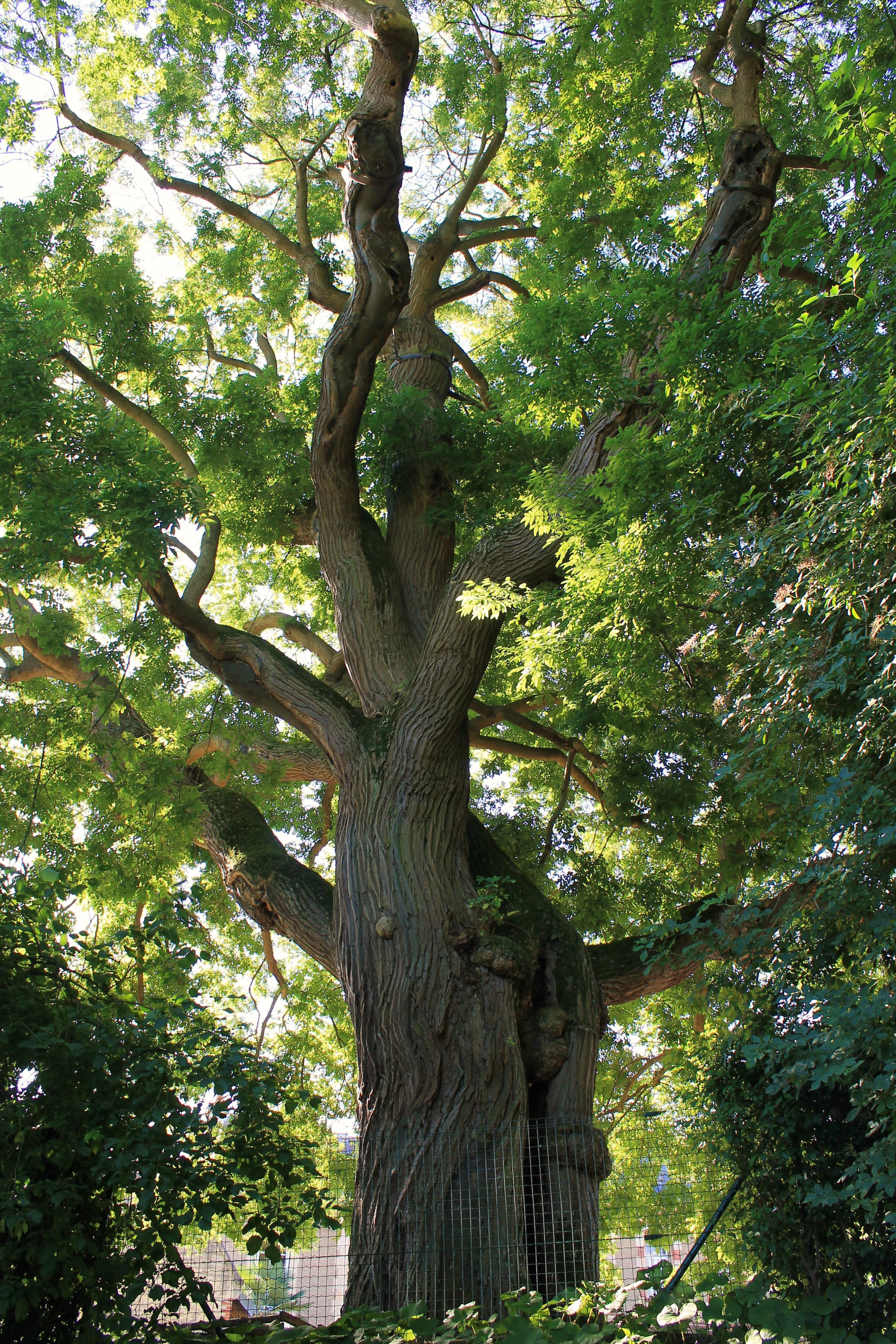 fichier:caen jardin des plantes sophora — wikipédia