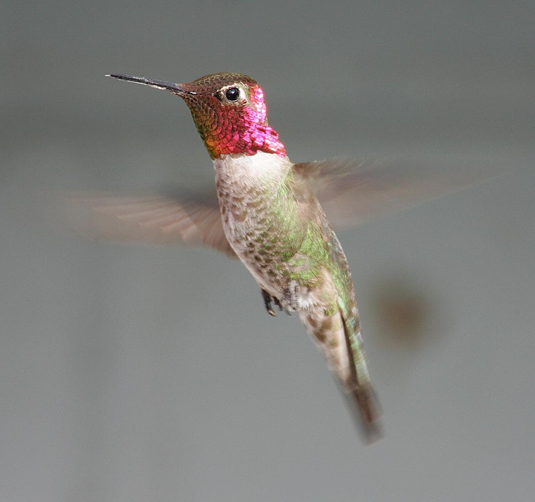 Anna kolibri