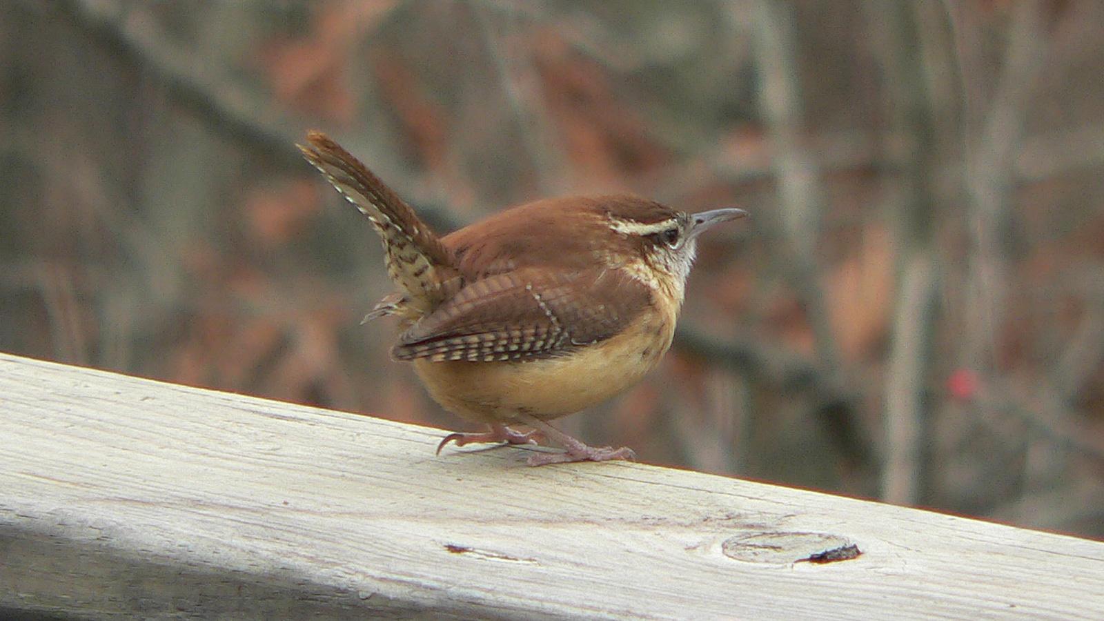 Image result for wren bird
