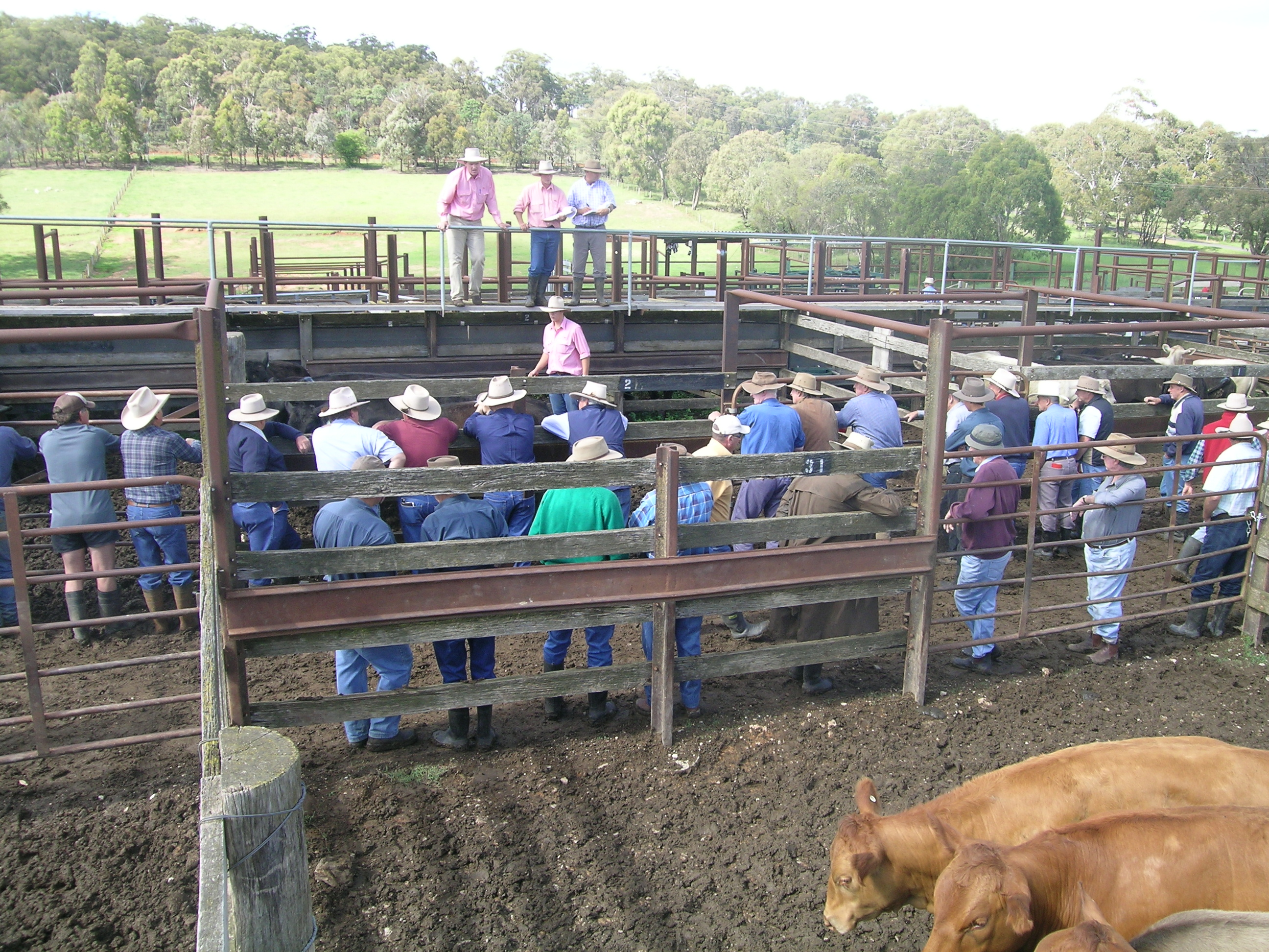 Cattle Sales