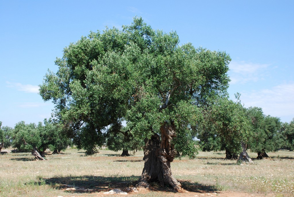File centenarian olive tree 1 4752183682 jpg for What to plant under olive trees