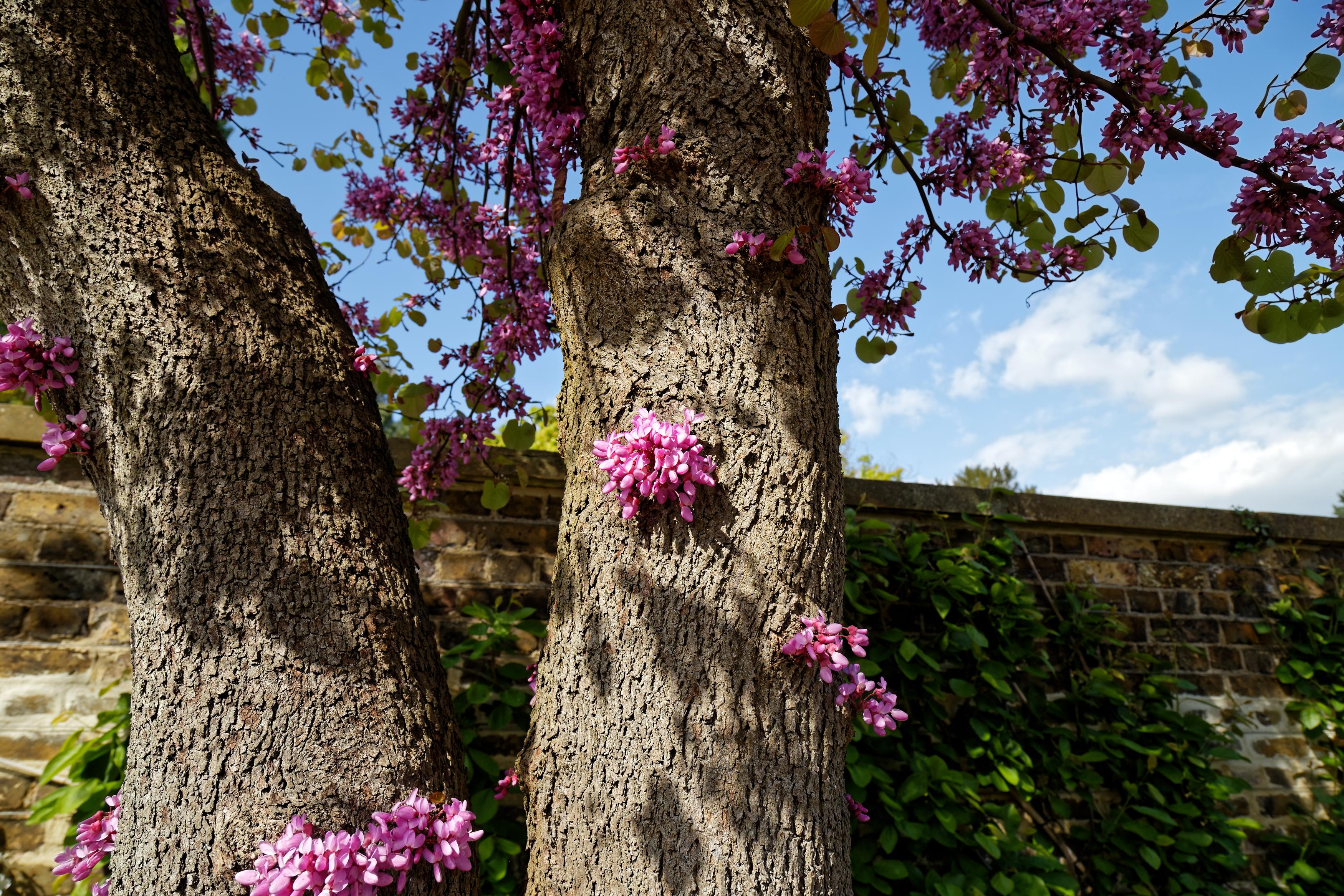 Filecercis siliquastrum judas tree flowering trunk at myddelton filecercis siliquastrum judas tree flowering trunk at myddelton house enfield london 04 mightylinksfo