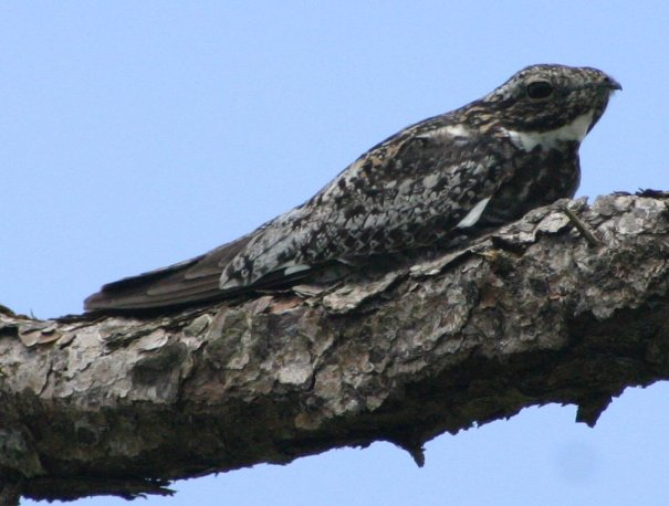 http://upload.wikimedia.org/wikipedia/commons/f/f1/Common_Nighthawk.JPG
