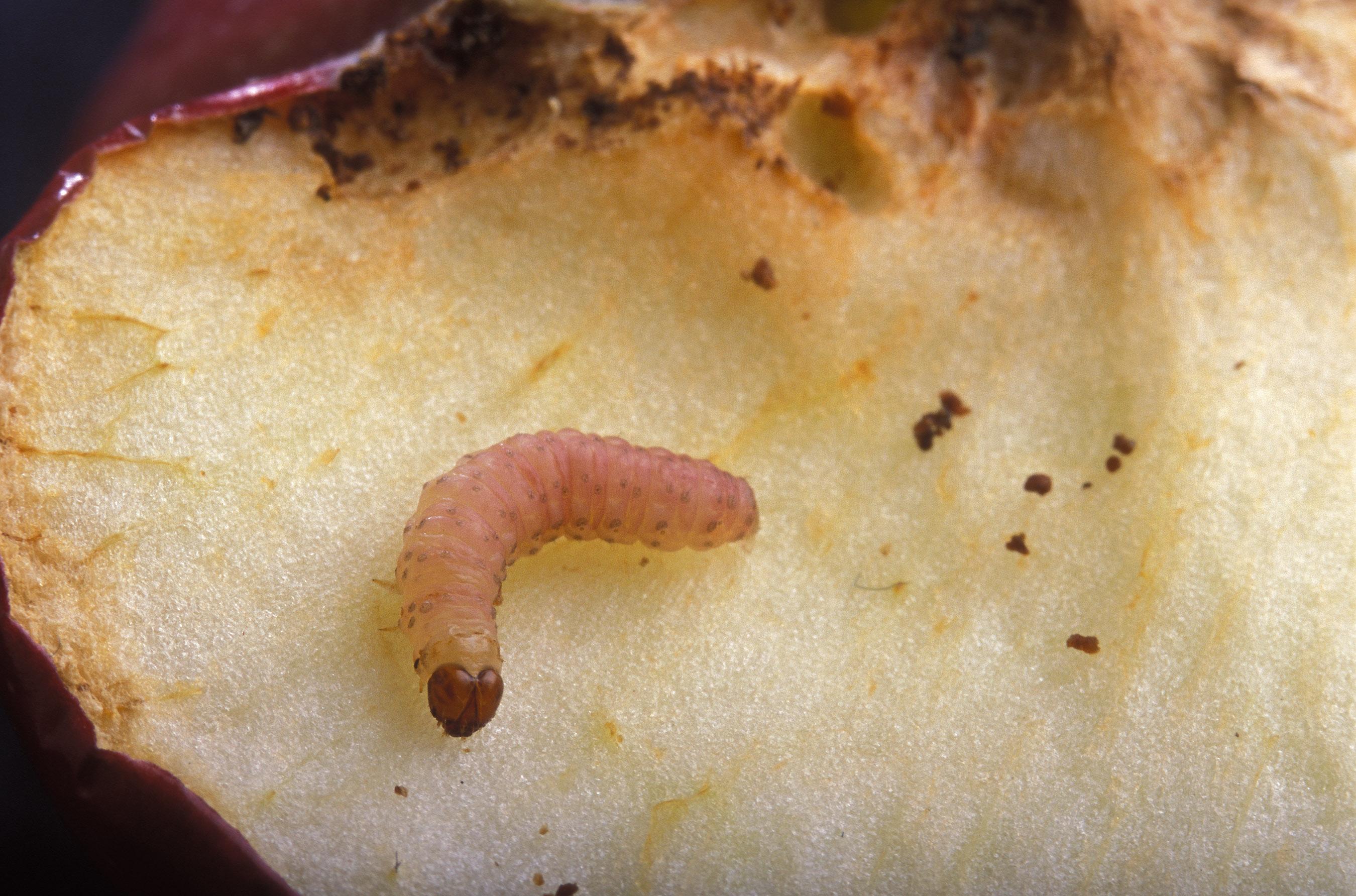 File Cydia pomonella larva jpg  Wikimedia Commons