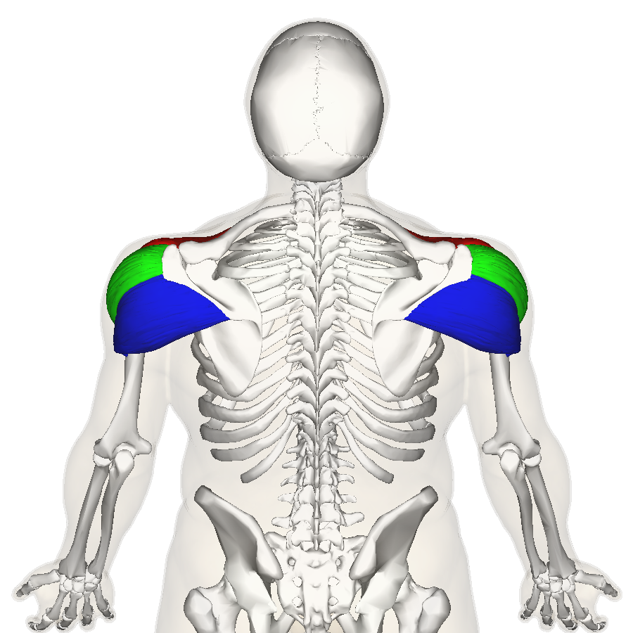 Filedeltoid Muscle Back3g Wikimedia Commons