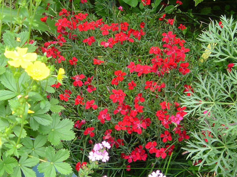 File dianthus deltoides 39 rouge 39 jpg wikimedia commons for Plante a suspendre exterieur