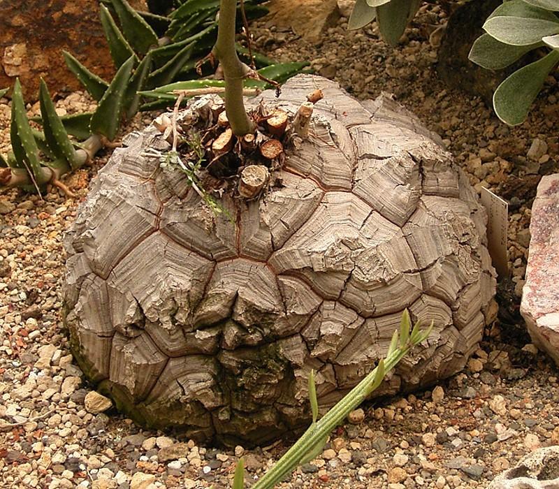 Dioscorea elephantipes 01 ies.jpg