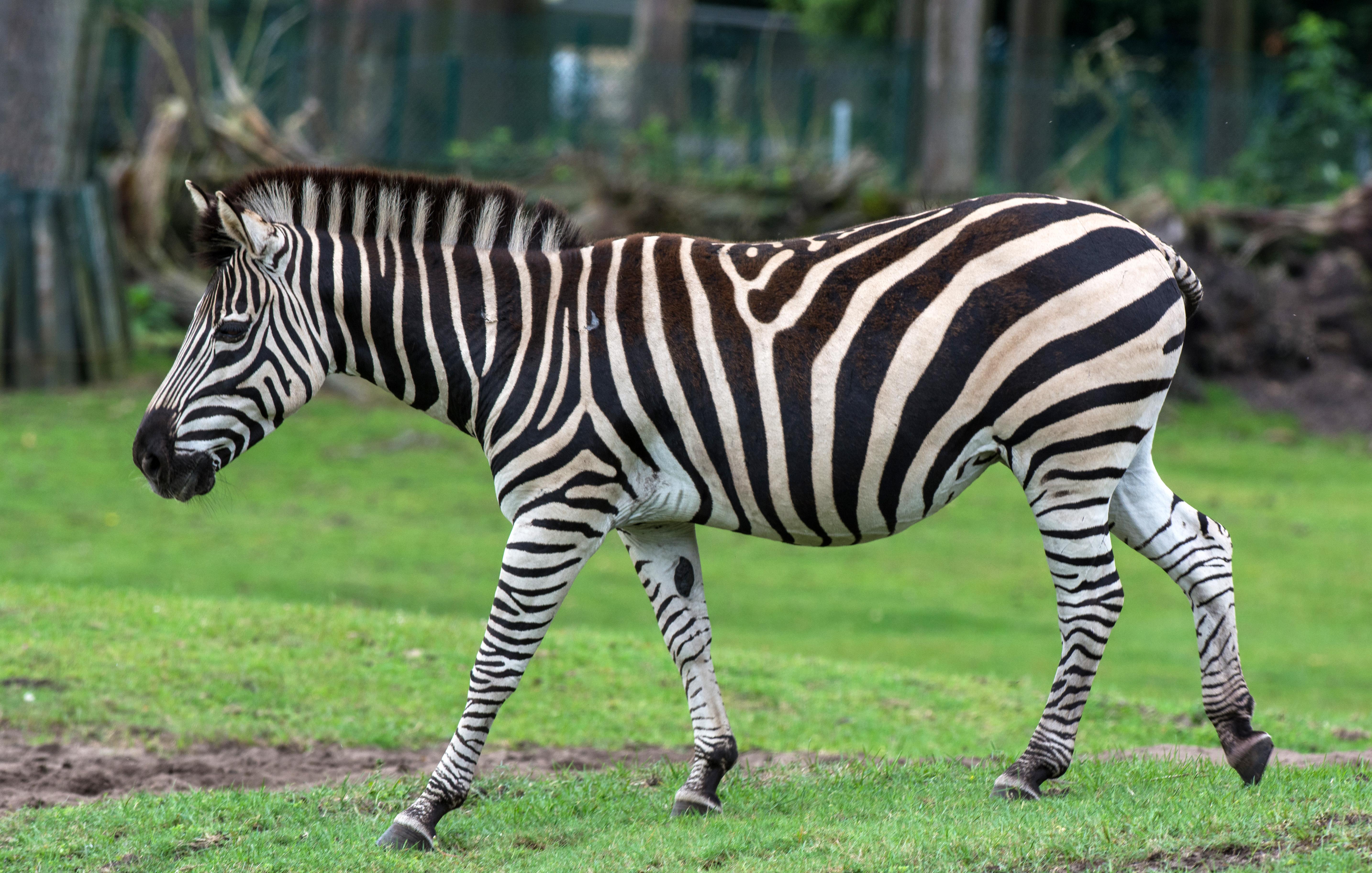 File:Equus quagga chapmani - Serengeti-Park Hodenhagen 2017