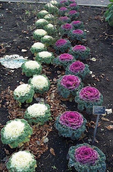 File:Flowering-kale.jpg