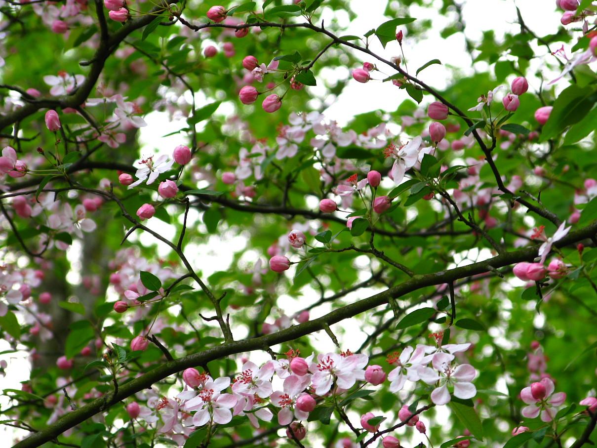 file flowery spring tree west virginia forestwander jpg