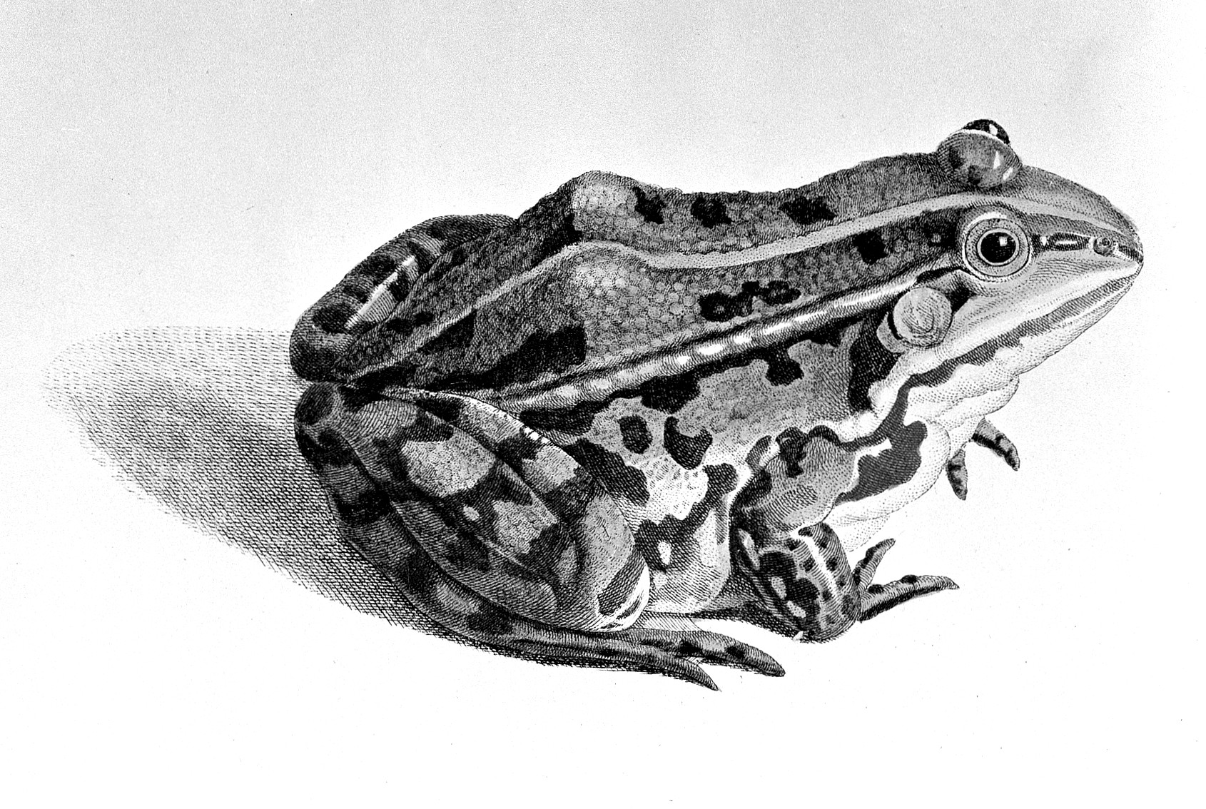 file frog from roesel von rosenhof 1758 wellcome l0001704 jpg