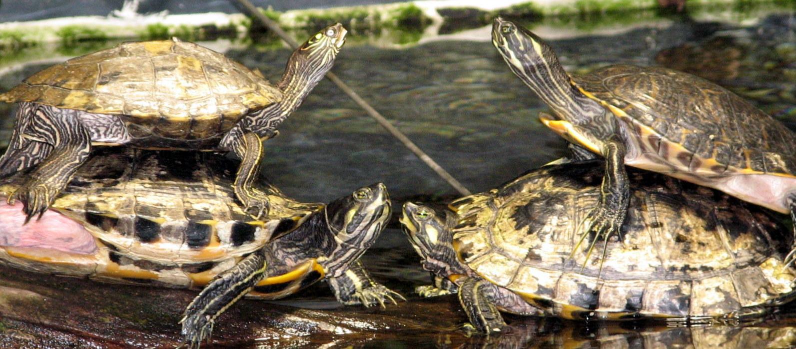 File geelwangschildpadden cumberland slider trachemys for Trachemys scripta