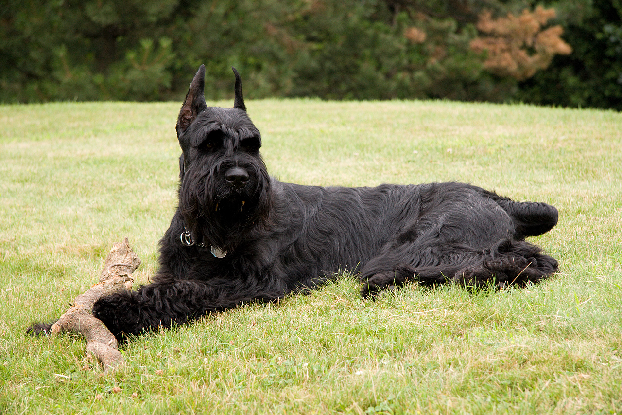 File:GiantSchnauzer Grass.jpg - Wikipedia, the free encyclopedia