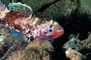 Channidae fishbase search