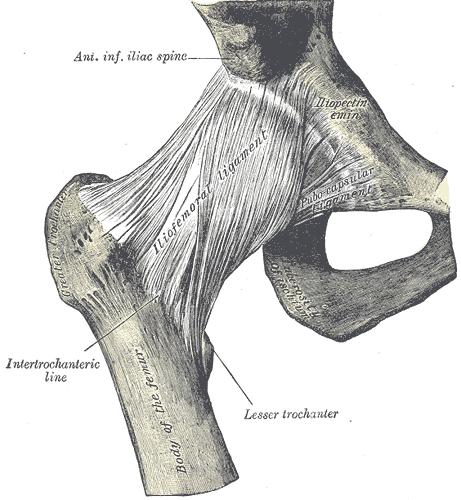 Iliofemoral ligament - Wikipedia