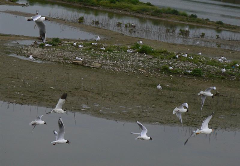 Gulls mobbing
