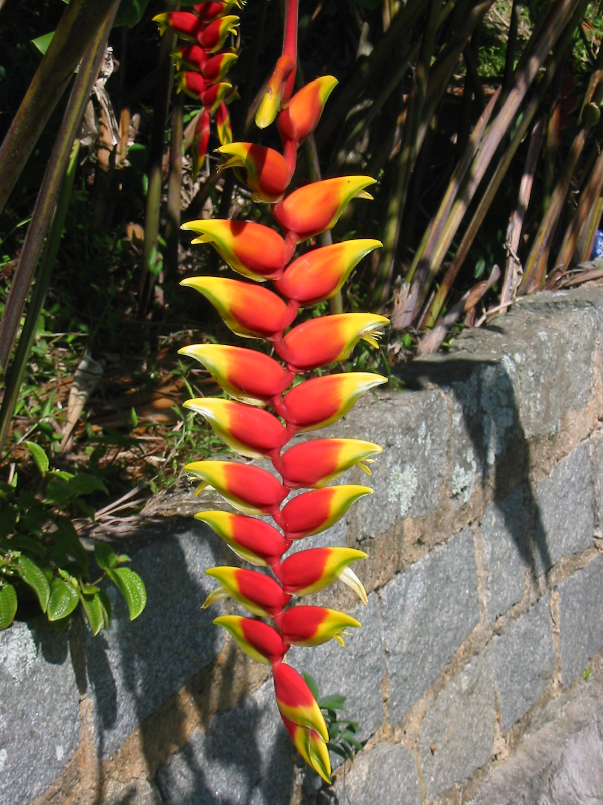 Heliconia wikipedia la enciclopedia libre for Tipos de vanguardias