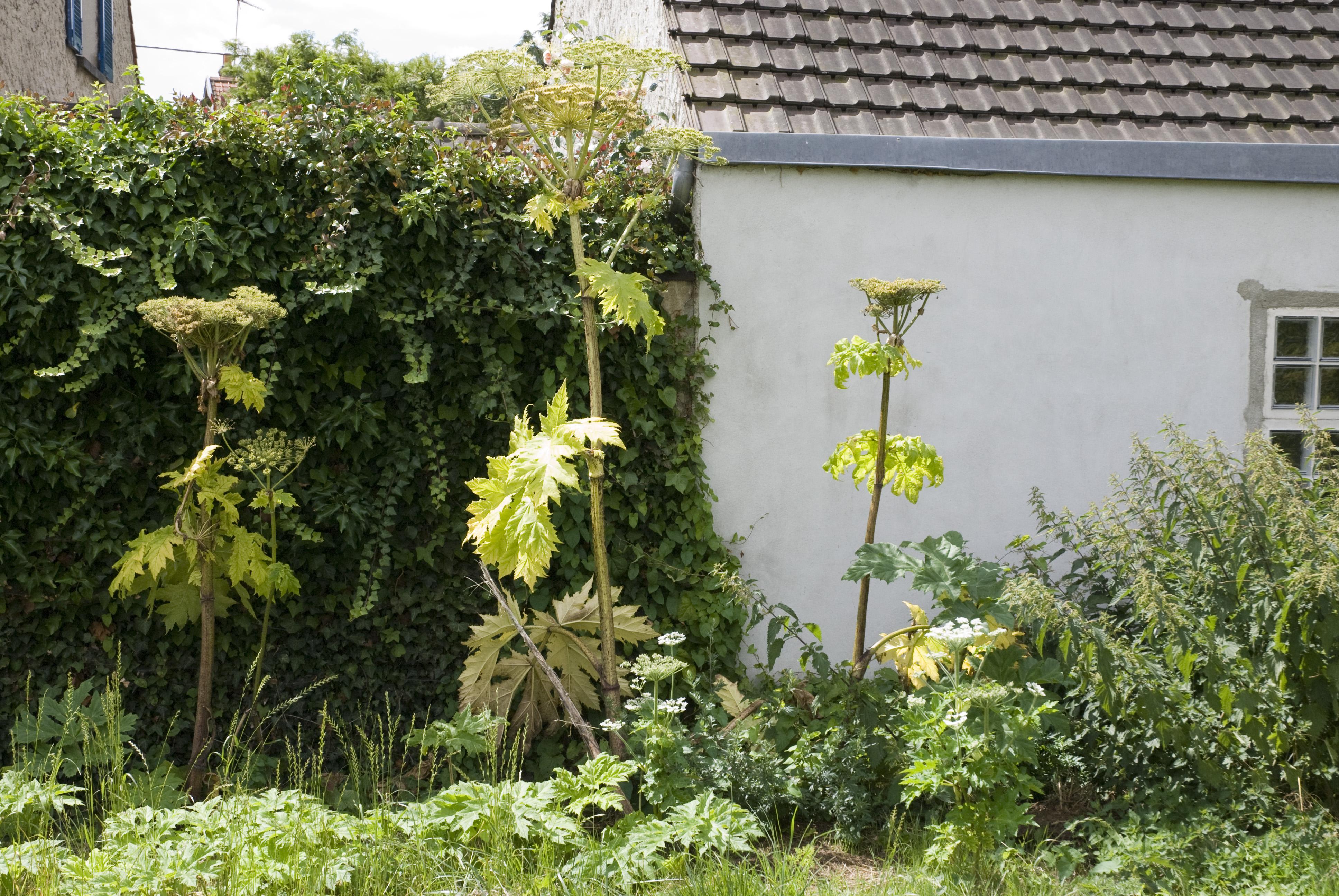 File heracleum mantegazzianum chateau thierry 02 13072008 for Bureau 02 chateau thierry