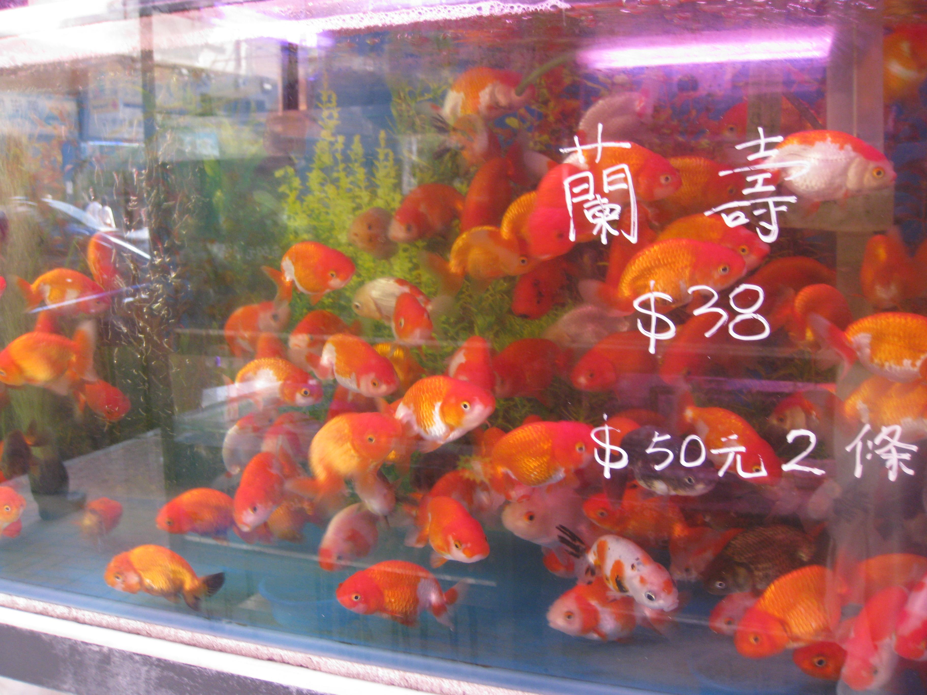 Fish for aquarium in kolkata - Pros And Cons Choosing Your Fish In The Goldfish Market My Aquarium Club