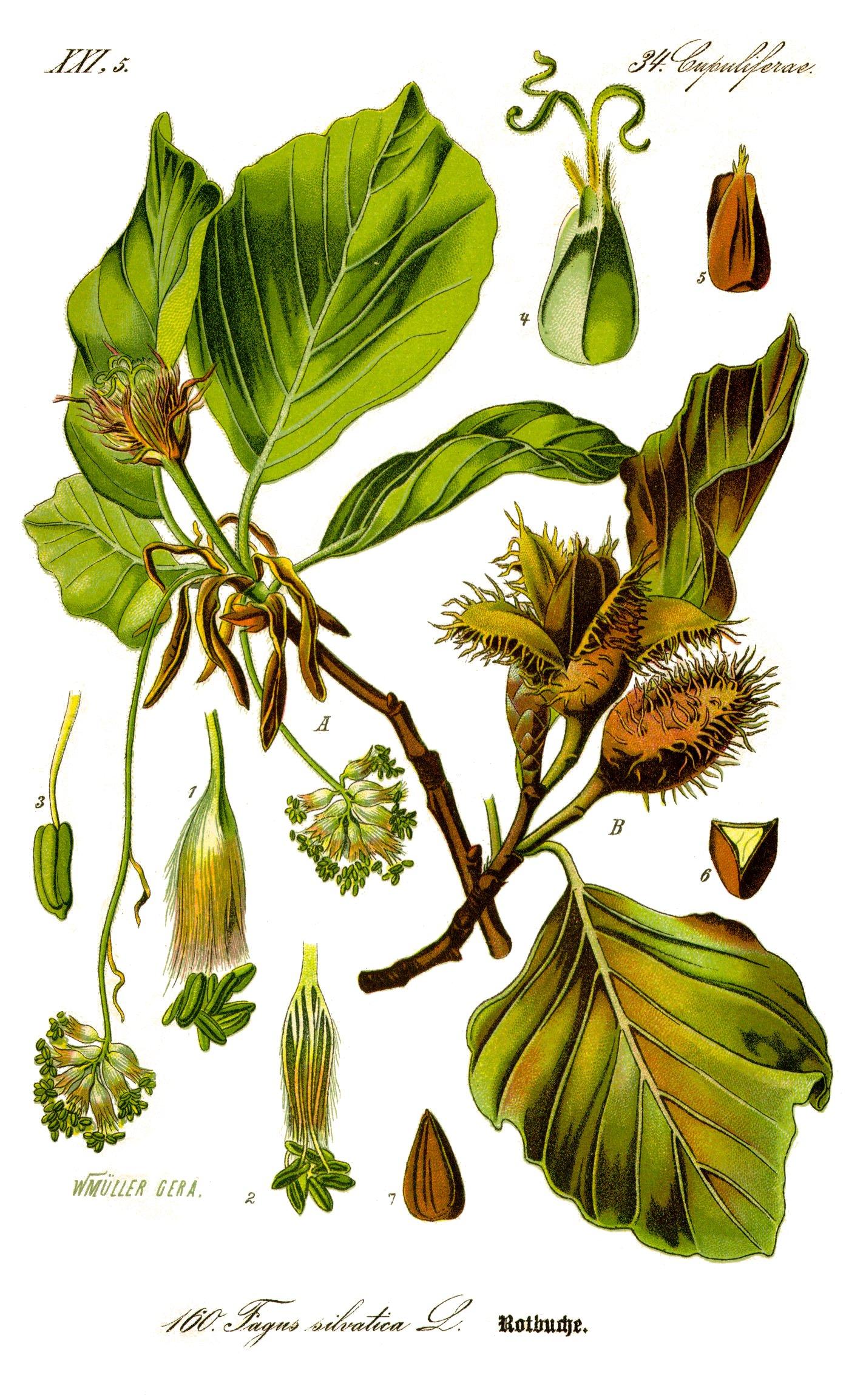 Fagus sylvatica botanical
