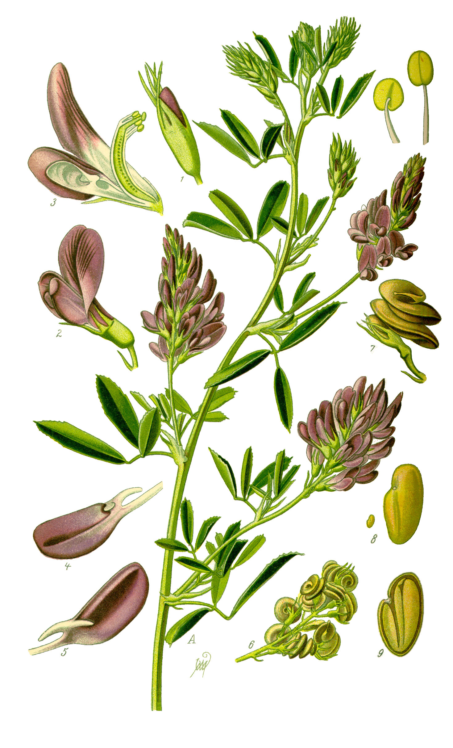 Depiction of Medicago sativa