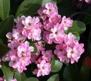 Decorative Dwarf Trees For Landscaping