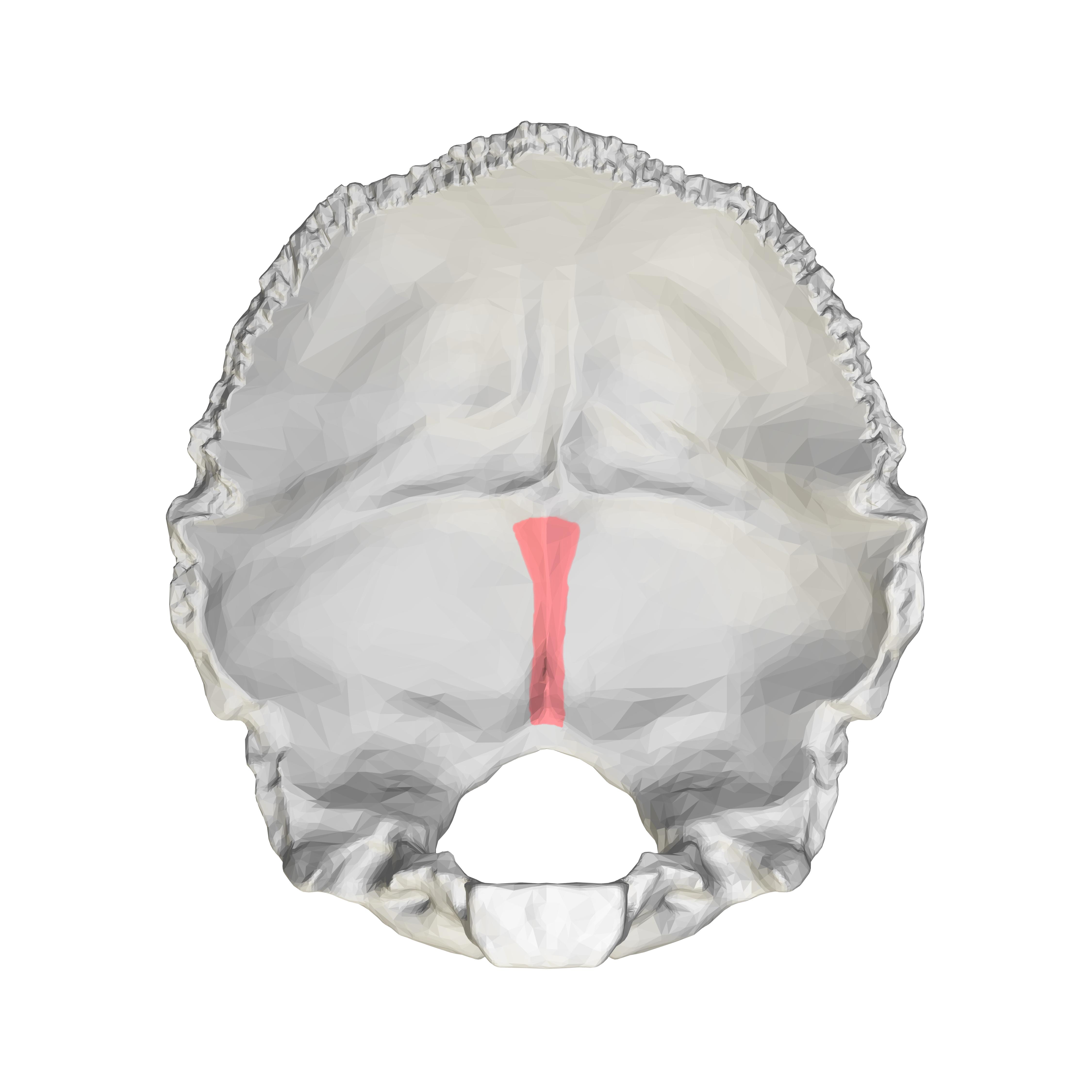 File:Internal occipital crest - close-up.png - Wikimedia ...