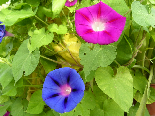 File ipomoea purpurea jpg wikimedia commons for Ipomea purpurea