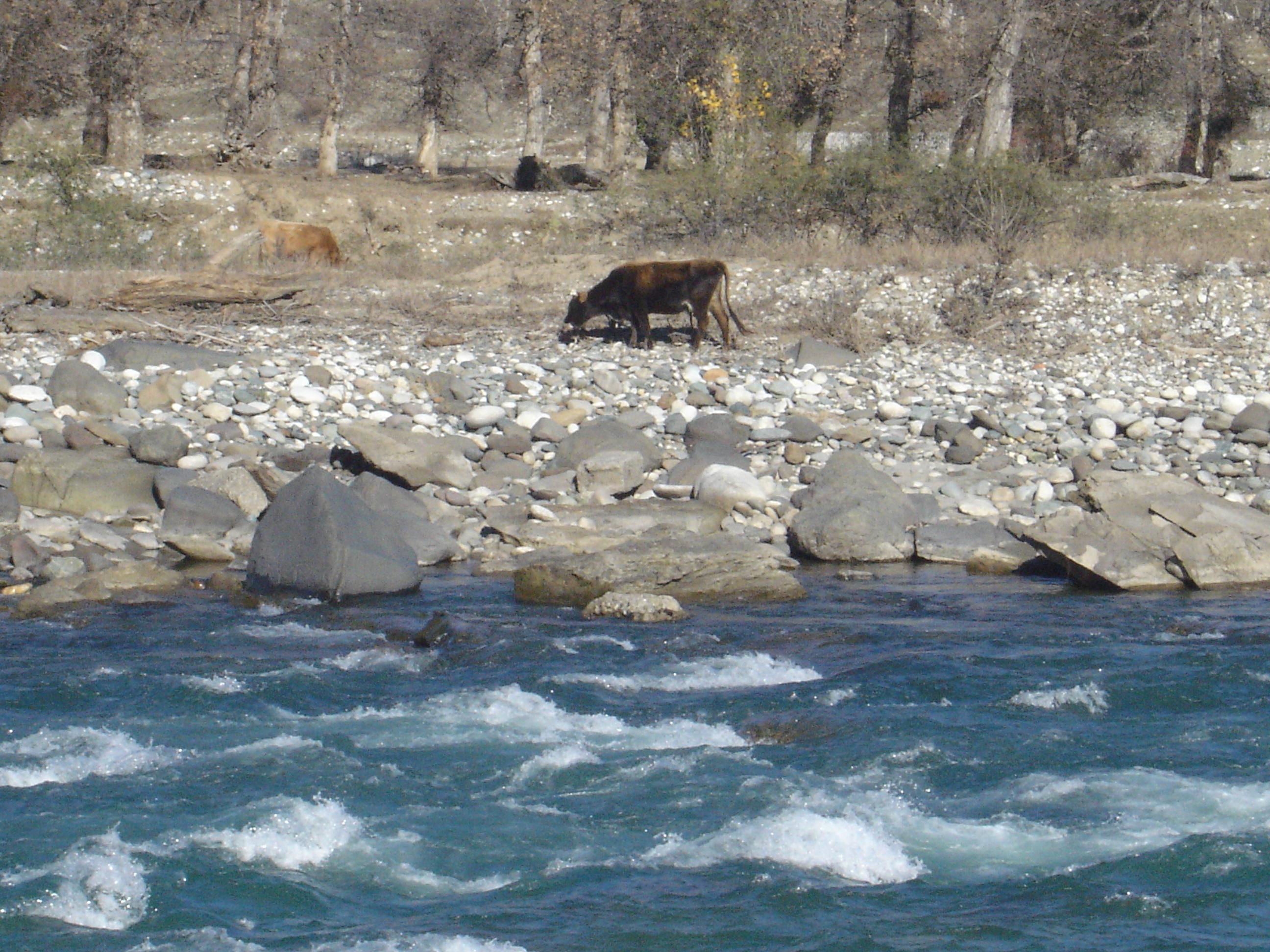 Of karachayevo-cherkessya, caucasus, russia. kuban river and cows