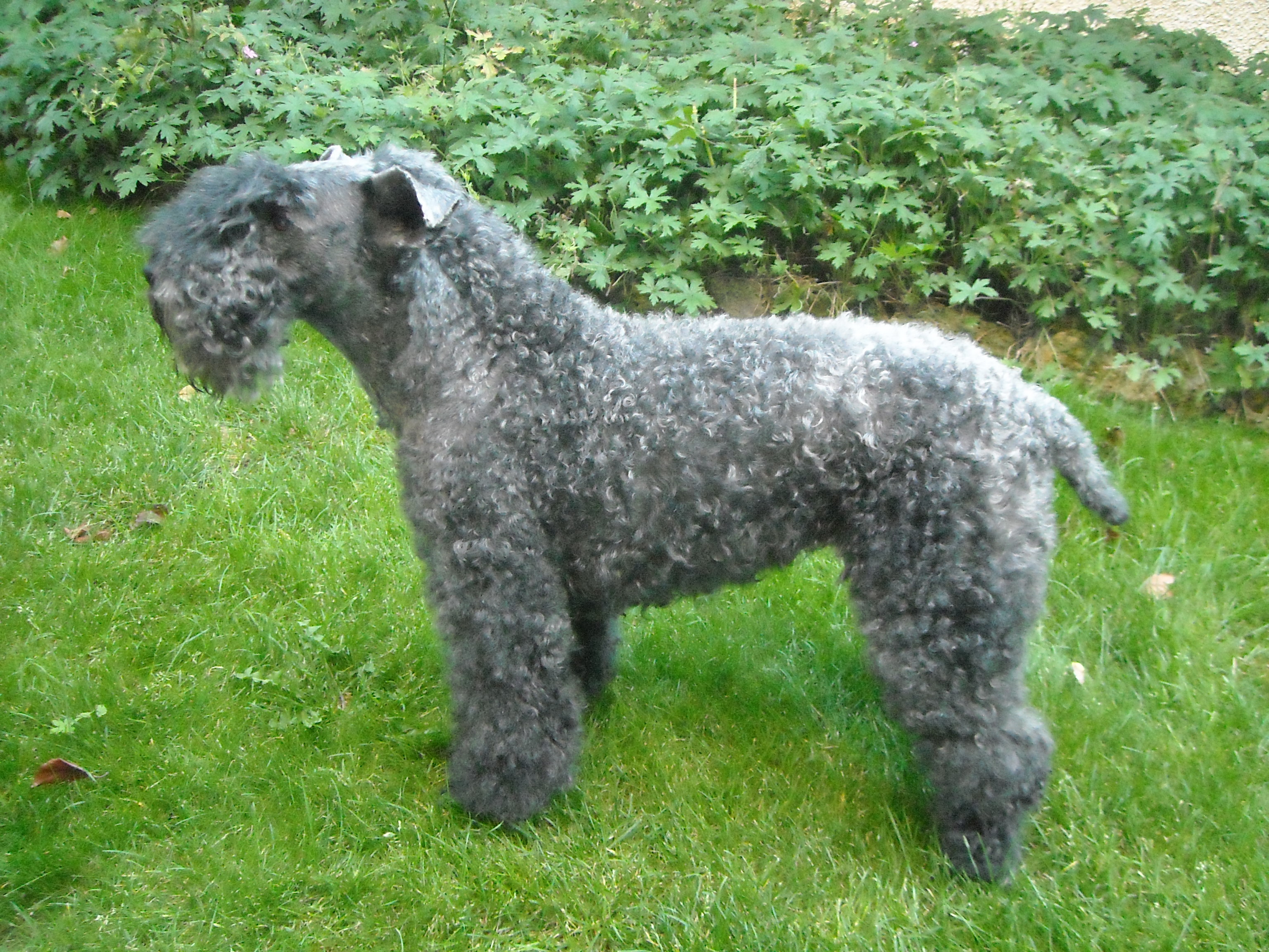 Datei Kerry Blue Terrier 062009 Jpg Wikipedia