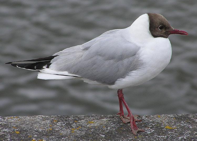 Gavina Riallera (Larus ridibundus), North Devon coast, England