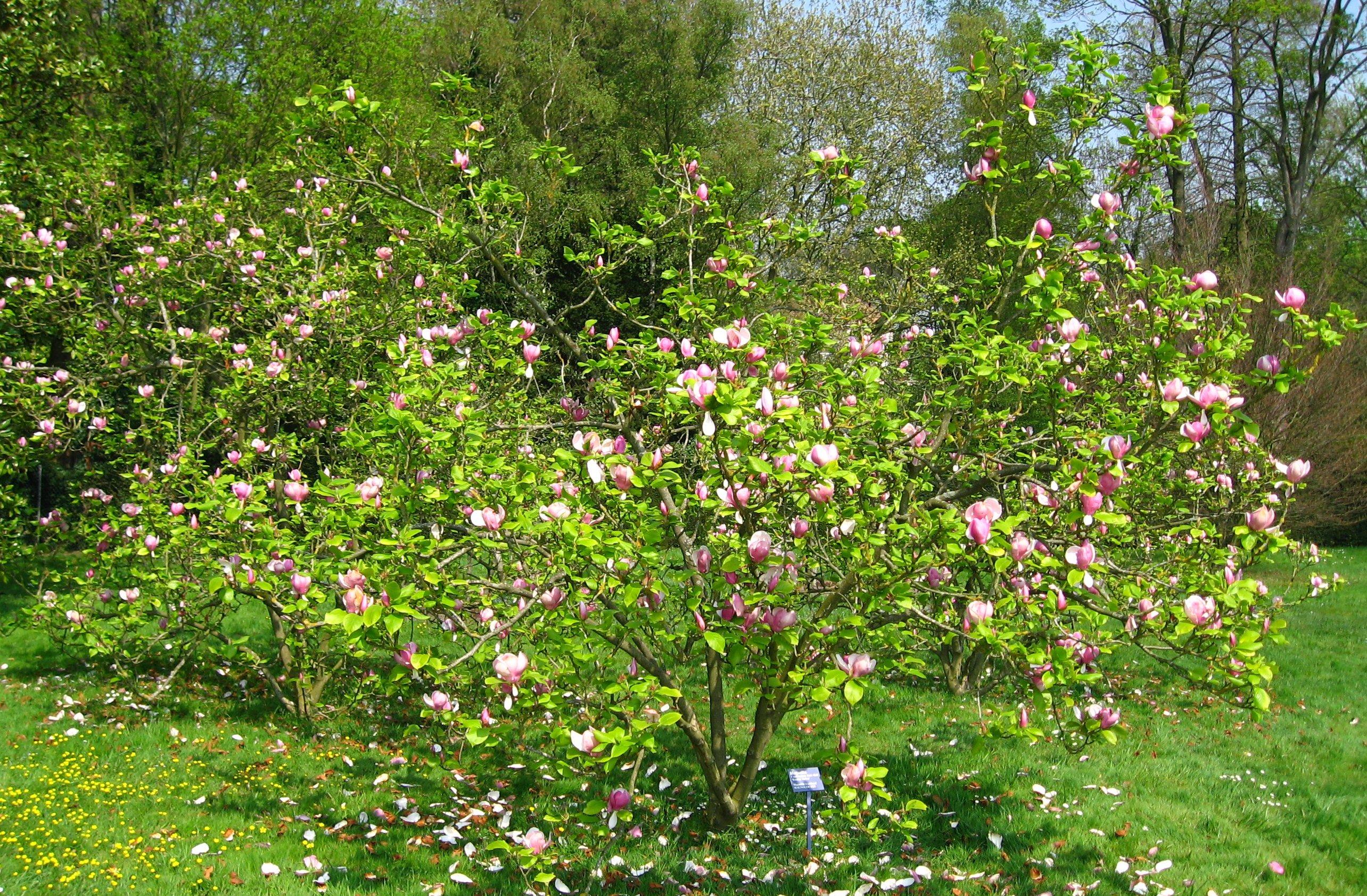 file magnolia x soulangeana 39 rustica rubra 39 by. Black Bedroom Furniture Sets. Home Design Ideas