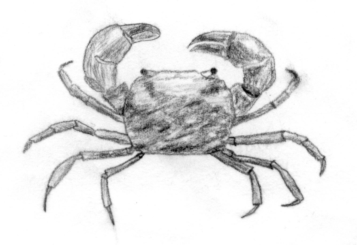 Filemud crab jpg wikipedia
