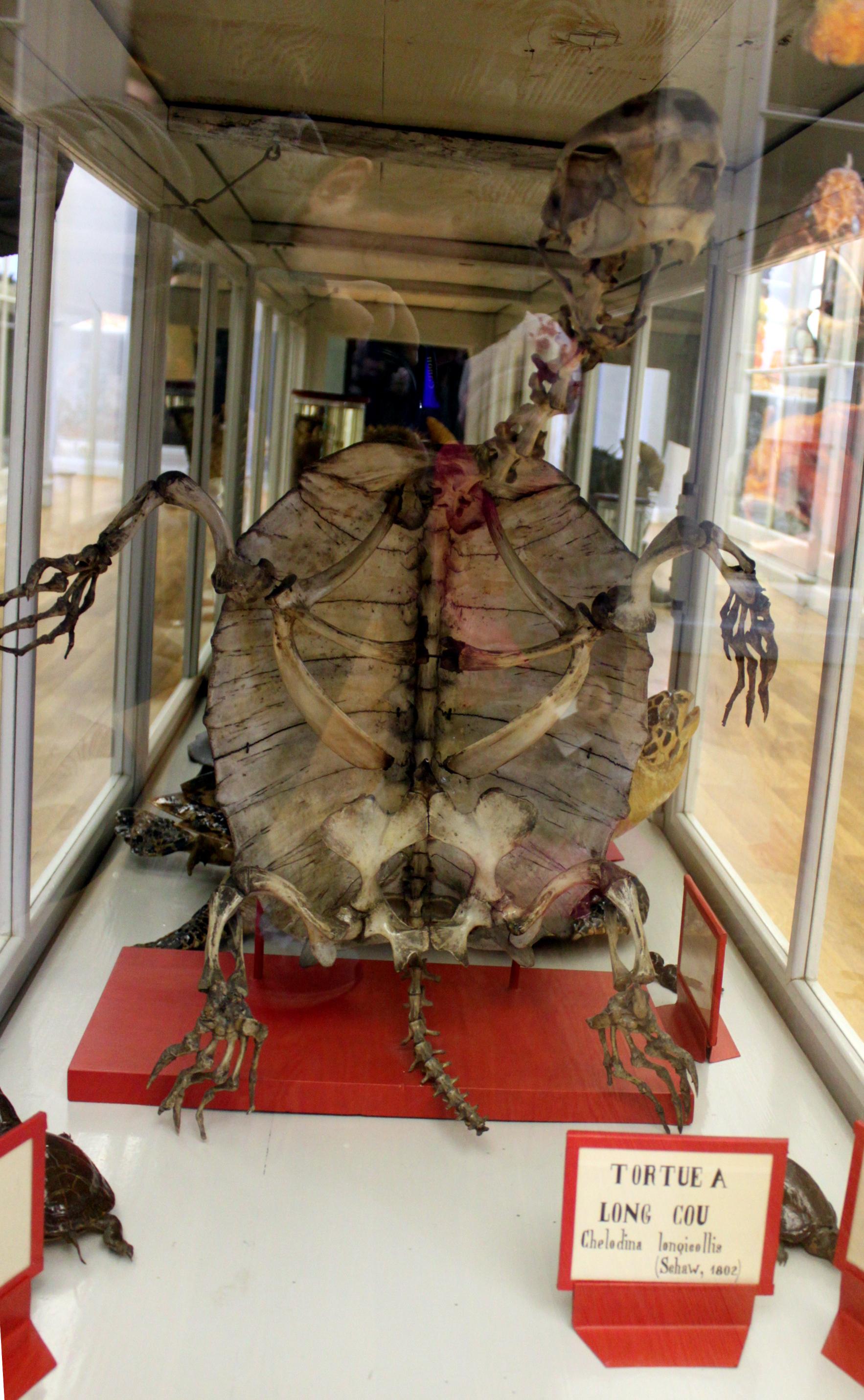 File Muséum D Histoire Naturelle De Dijon Squelette Tortue Jpg Wikimedia Commons