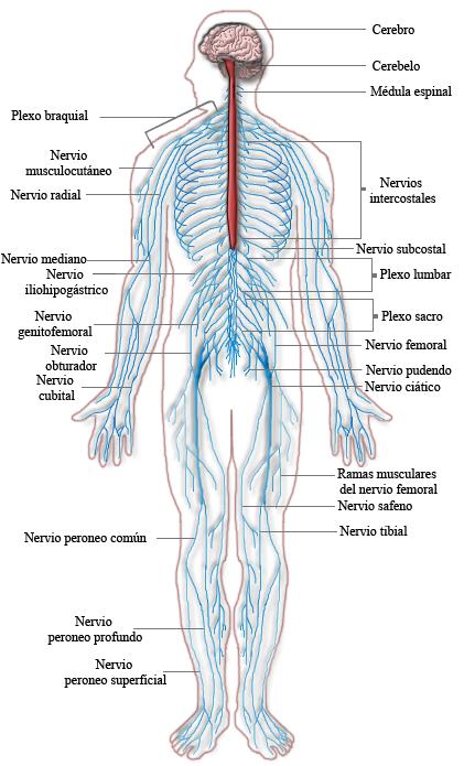 Aparato sensoro-motor | Anatomía y biomecánica