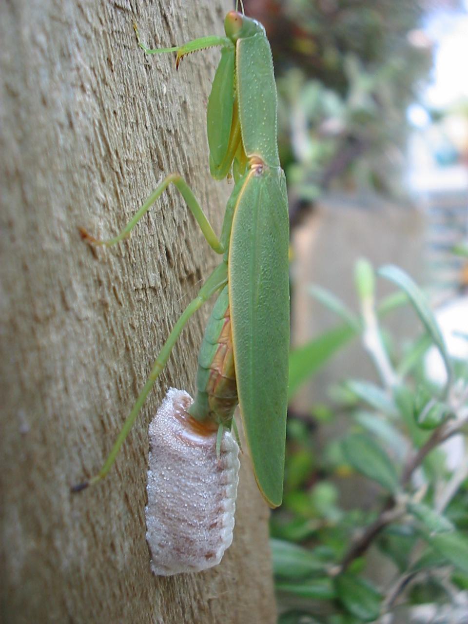 File:New_Zealand_Mantis_(Orthodera_novaezealandiae)_laying_eggs on Grasshopper Life Cycle